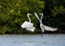 Walczący wielcy egrets (Ardea albumy) Fotografia Royalty Free