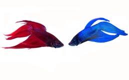 walczący rybi siamese Fotografia Royalty Free
