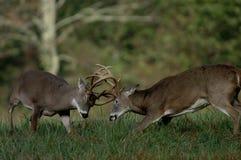 walczył na jelenie whitetail obrazy stock
