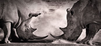 Walczy, konfrontacja między dwa biel nosorożec w Afrykańskiej sawannie na jeziornym Nakuru zdjęcie stock