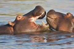 Walczy młodego hipopotama, Hipopotamowy amphibius, Okavango, Botswana Obrazy Stock