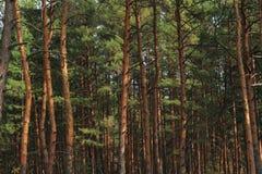 Wald als Hintergrund Lizenzfreie Stockfotografie