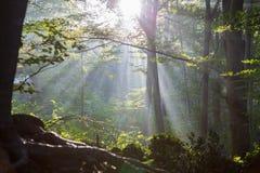 Wald bei Sonnenaufgang Stockfotografie