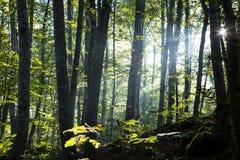 Wald bei Sonnenaufgang Stockbild
