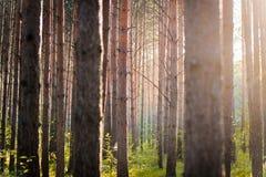 Wald, der bei Sonnenuntergang glänzt Stockbild