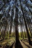 Wald an der Dämmerung lizenzfreies stockfoto