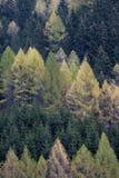 Wald der Fichten und der Lärchen im Frühjahr lizenzfreies stockbild