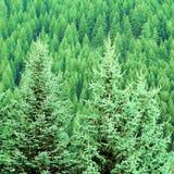 Wald der Kiefer Lizenzfreie Stockfotos