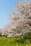 Wald der Kirschblüten Lizenzfreie Stockbilder