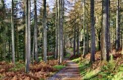 Wald der Lärchenbäume an einem Wintertag. Stockbilder