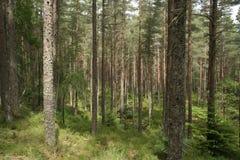 Wald der schottischen Kiefer Stockfotografie