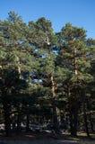 Wald der schottischen Kiefer Stockfotos