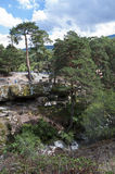 Wald der schottischen Kiefer Lizenzfreies Stockfoto