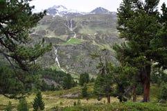 Wald der Schweizer Kiefer von Obergurgl, Österreich Lizenzfreies Stockbild