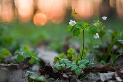 Wald der weißen Blumen im Frühjahr stockbilder