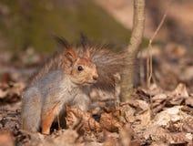 Wald des Eichhörnchens im Früjahr Lizenzfreie Stockbilder