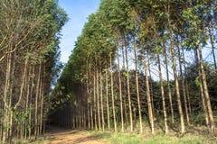 Wald des Eukalyptus lizenzfreie stockfotos