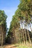 Wald des Eukalyptus lizenzfreie stockfotografie