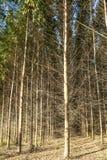 Wald des Eukalyptus stockbilder