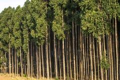 Wald des Eukalyptus lizenzfreies stockfoto