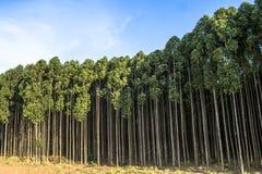 Wald des Eukalyptus lizenzfreie stockbilder