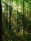 Wald des frühen Morgens Lizenzfreie Stockfotografie