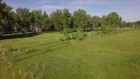 Wald des grünen Grases und der Birke des Sommers stock video footage