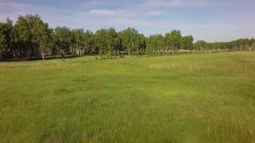 Wald des grünen Grases und der Birke des Sommers stock video