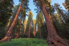 Wald des riesigen Mammutbaums lizenzfreie stockbilder