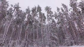 Wald des Schnees deckte Kiefer ab stock video footage