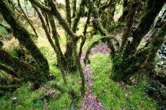 Wald des tropischen Regens, Bäume mit Efeu   Stockfotos