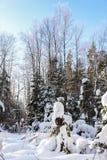 Wald des verschneiten Winters Lizenzfreie Stockfotos