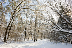 Wald des verschneiten Winters Lizenzfreies Stockbild
