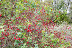 Wald-dogrose mit Beeren stockbilder