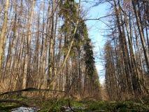 Wald im Frühjahr nach Schnee Stockfotografie