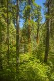 Wald im Mammutbaum-Nationalpark Lizenzfreie Stockfotos