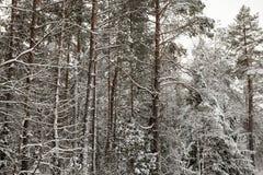 Wald im Winter Stockbilder