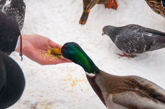 Wald mallart duck feed on white background. Winter Stock Photo