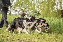 Wald med många hundkapplöpning på en koppel Mycket boerdercollier arkivfoto