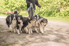 Wald met vele honden op een leiband Heel wat boerdercollies royalty-vrije stock foto
