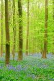 Wald mit Bluebells Stockbilder