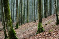Wald mit Buche Stockbild