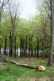 Wald mit dem Baum geverringert Lizenzfreies Stockfoto
