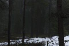 Wald mit Kiefer und Tannenbäumen Nebelhaft, schwermütig, Morgen stockfoto