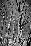 Wald mit Lindenbäumen Stockfotos