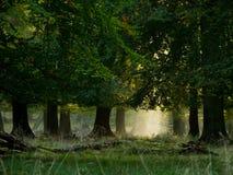 Wald mit Nebel und warmem Sonnenschein Lizenzfreie Stockfotos