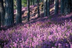 Wald mit rosa Erika-Blumen lizenzfreies stockbild