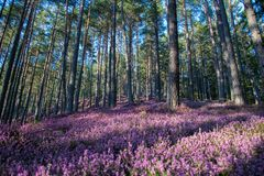 Wald mit rosa Erika-Blumen stockbilder