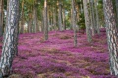 Wald mit rosa Erika-Blumen stockbild