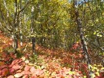 Wald mit rotem Herbstlaub Stockbild